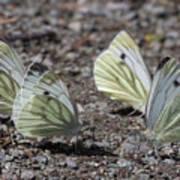 White Butterflies Art Print