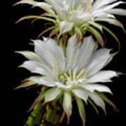 White Cactus Flowers Art Print