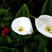 White Calla Lily Art Print
