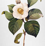 White Camellia Art Print by Granger