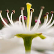 White Cherry Blossom Against Green Art Print