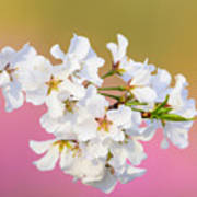 White Cherry Blossoms Against A Pink And Gold Background Art Print
