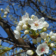 White Blossoms Blooming Art Print