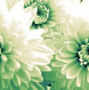 White Chrysanth Flowers Art Print