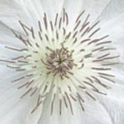 White Clematis Flower Garden 50121b Art Print