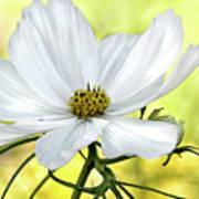 White Cosmos Floral Art Print