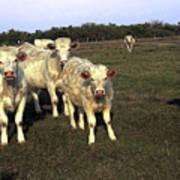 White Cows Art Print