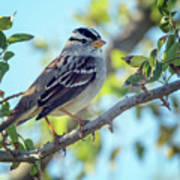 White-crowned Sparrow 0033-111017-1cr Art Print
