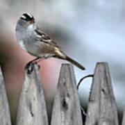 White-crowned Sparrow 2 Art Print