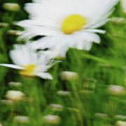 White Daisy Digital Oil Painting Art Print