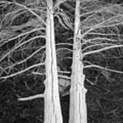 White Dead Trees Art Print