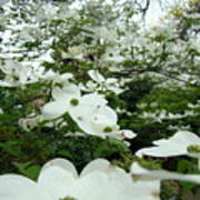 White Dogwood Flowers 6 Dogwood Tree Flowers Art Prints Baslee Troutman Art Print