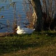 White Duck Resting Art Print