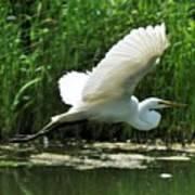White Egret In Flight Art Print