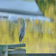 White Faced Heron With Reflections Art Print by Barry Culling
