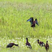 White-faced Ibis Preparing To Land Art Print