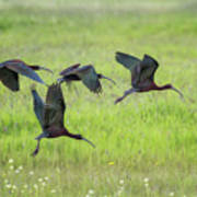 White-faced Ibis Rising, No. 2 Art Print