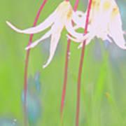 White Fawn Lilies In The Rain Art Print