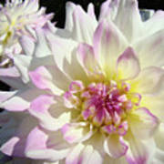 White Floral Art Bright Dahlia Flowers Baslee Troutman Art Print