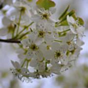 White Flowers On A Tree Art Print