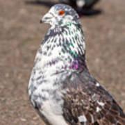 White-gray Pigeon Profile Art Print