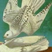 White Gyrfalcons Art Print