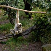 White Handed Gibbon 1 Art Print