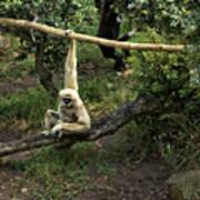 White Handed Gibbon 2 Art Print
