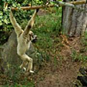 White Handed Gibbon 3 Art Print