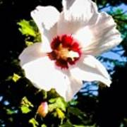 White Hibiscus High Above In Shadows Art Print