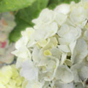 White Hydrangea At Rainy Garden In June, Japan Art Print
