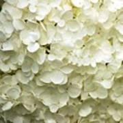 White Hydrangea Art Print