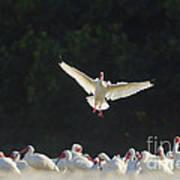 White Ibis In Flight Over Flock Art Print