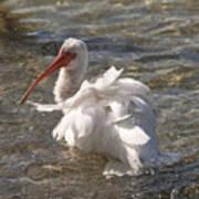White Ibis In Florida Art Print