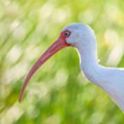 White Ibis Portrait Art Print