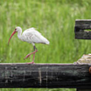 White Ibis Stepping Out Art Print