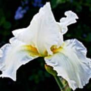 White Iris At Pilgrim Place In Claremont-california Art Print