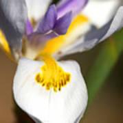 White Iris One Art Print
