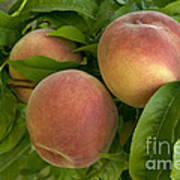 White Lady Peaches On A Branch Art Print