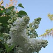 White Lilac Art Print