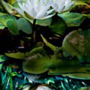 White Lilies, White Reflection Art Print