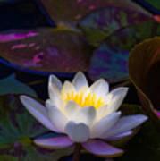 White Lily Rising Art Print