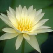 White Lily Art Print