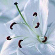 White Lily Triptych Part2 Art Print