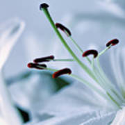 White Lily Triptych Part3 Art Print