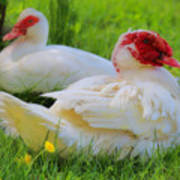 White Muscovy Ducks Art Print