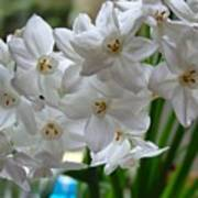White Narcissi Spring Flower 2 Art Print