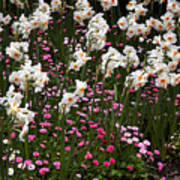 White Narcissus With Pink English Daisies In A Spring Garden Art Print