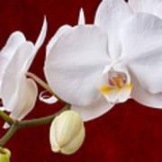 White Orchid Closeup Art Print