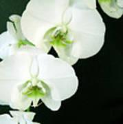White Orchid Elegance Art Print